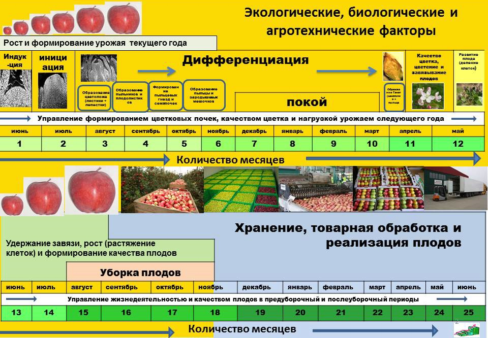Этапы формирования плодов