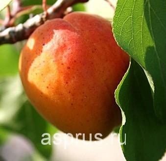 талантливое абрикос иркутский зимостойкий описание сорта ребенок иногда