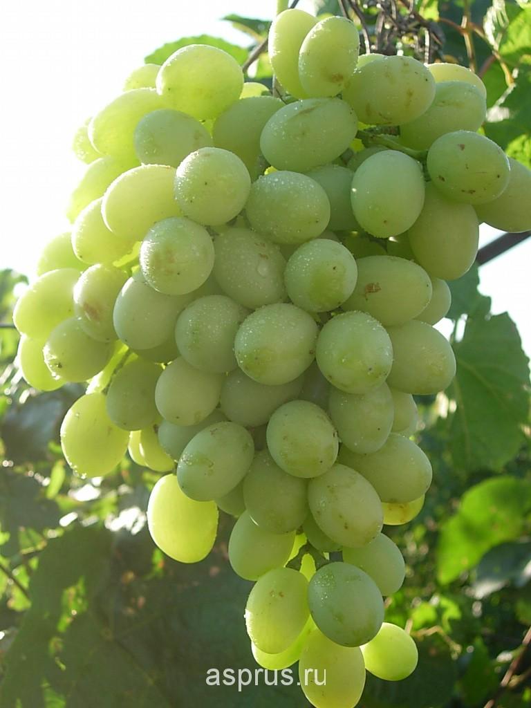 подземный капельный полив винограда схема и размеры