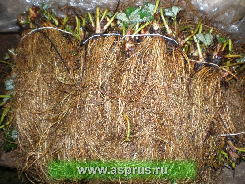 земляника, фриго, безвирусный посадочный материал, посадочный материал