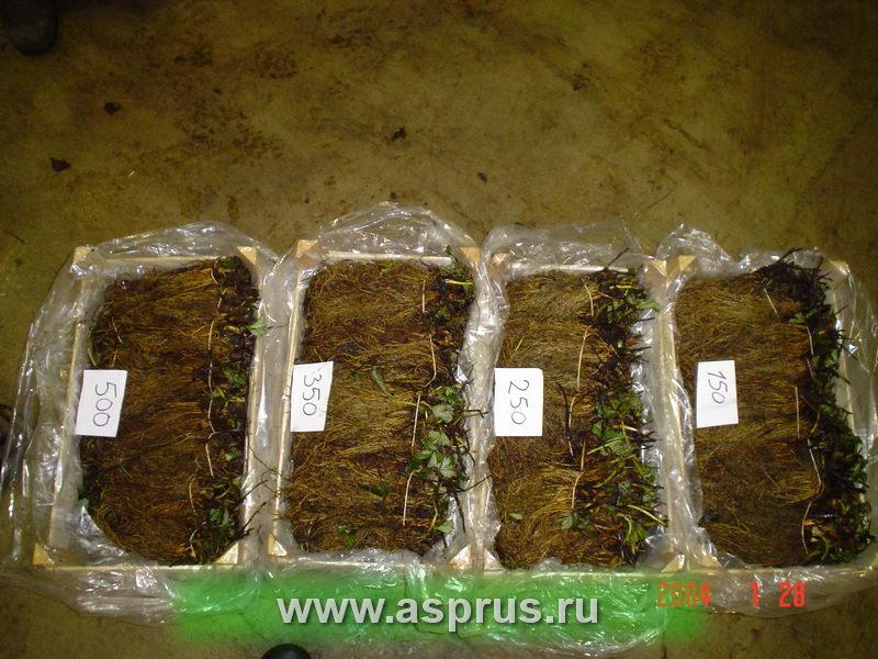 Как сохранить рассаду клубники в подвале 46