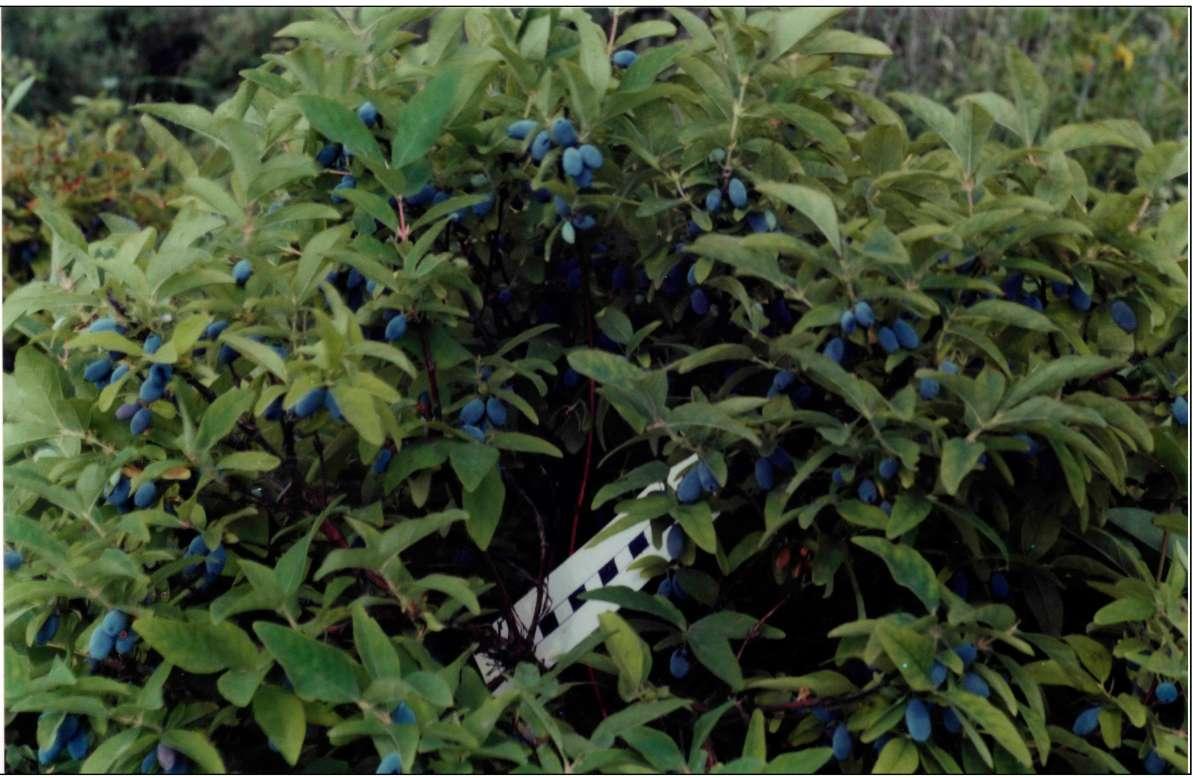 Плодоношение жимолости, сорт Синяя птица.