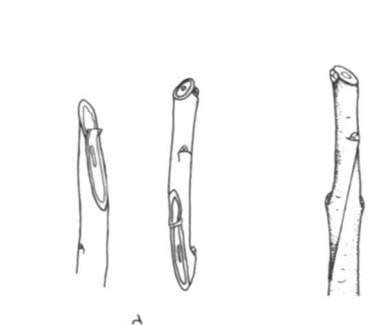 Методы производства двухлетних саженцев с однолетней кроной