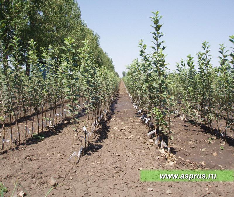 Развитие отводков в первом поле питомника
