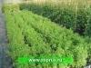 КРЫЖОВНИК (Ribes grossularia)