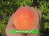 ПОДВОИ ПЕРСИКА (Prunus persica)GF 677