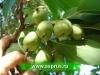 АКТИНИДИЯ (Actinidia arguta)