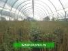 ЕЖЕВИКА (Rubus fruticosus)