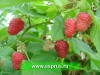 МАЛИНА КРАСНАЯ(Rubus idaeus)
