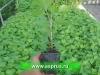 СМОРОДИНА ЧЁРНАЯ(Rubus nigrum)