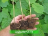 ФУНДУК(Corylus avellana)