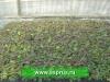 ФУНДУК (Corylus avellana)