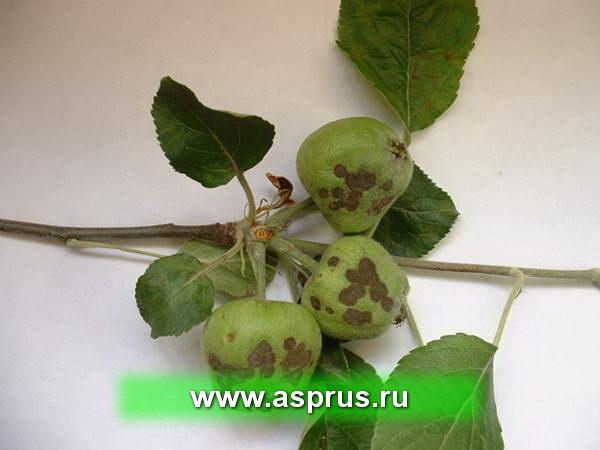 Основная болезнь – парша яблони