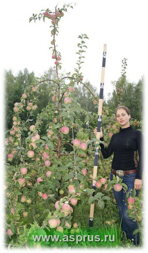 сад, сорт, обрезка, формировки, формировка интенсивного сада, asp-rus, аспрус,