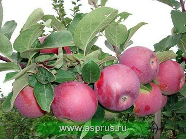 гербицидный пар, капельное орошение, подвой, полив, сад, сорт, удобрения, шпалера