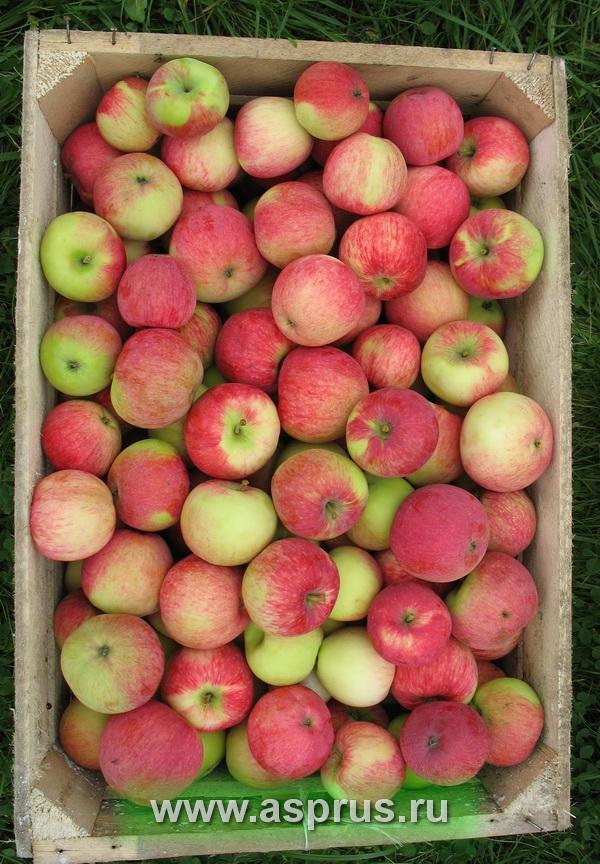 опадение, сорт, плод, этилен, ауксин, стресс-факторы