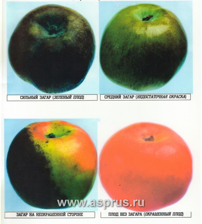 биохим, качество плодов, модифицированная атмосфера, обрезка, регулируемая атмосфера, садоводство, сорта яблони, технология, технология хранения, химический состав, этилен, эффективность