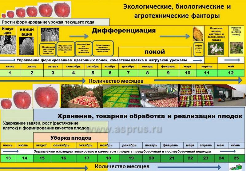 ауксин, берлин, биохим