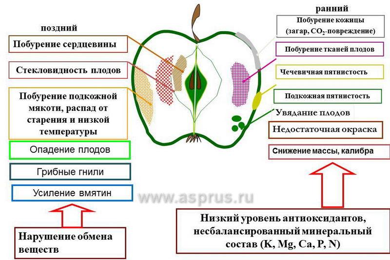 ауксин, берлин, биохим, болезни, виноград, вредители, защита растений, зеленые операции, ингибитор этилена, инсектицид, капельное орошение, качество плодов, продуктивность насаждений, полив, подвой, плод, питомник, периодичность плодоношения, парша, опадение, обрезка, модифицированная атмосфера, малин, реализация, регулируемая атмосфера, регуляторы роста, сад, садоводство, саженцы, сорта яблони, стресс-факторы, технология, технология хранения, удобрения, фитогормоны, формировка, химический состав, этилен, эффективность, фертигация, гормоны, регуляторы растений, элементы минерального питания, ассимиляты, цветковые почки, цветок, завязь, качество плодов, продуктивность насаждений, уборка, хранение, товарная обработка, единая живая система