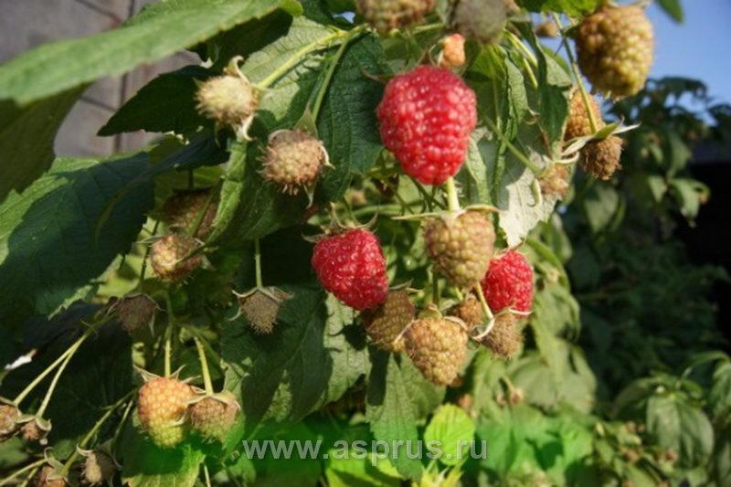 болезни, вредители, заморозка, малина, опоры, полив, посадочный материал, ремонтантные сорта, сад, саженцы, сорта малины, схема посадки, технология, ягода,