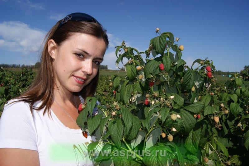 заморозки, питомник, плод, посадочный материал, посадочный материал малины, сад, сорт, сорта малины, шпалера, ягода, малина,