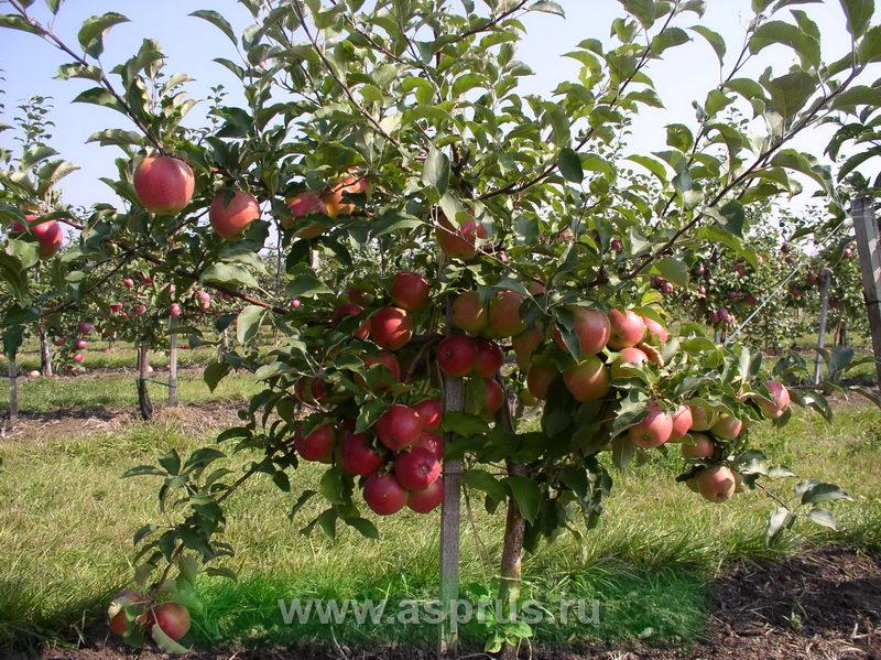 сорт яблок лигол фото