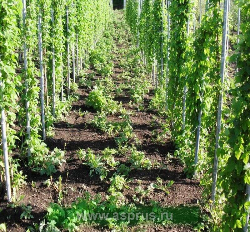 Промышленное выращивание малины в россии 33
