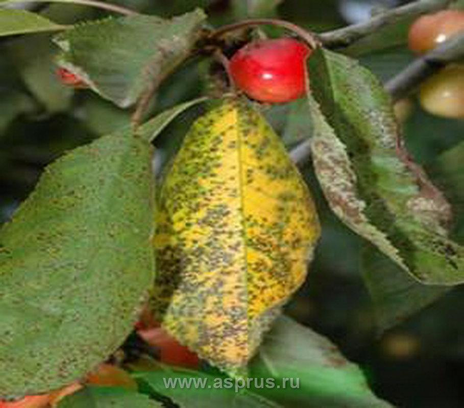 Коккомикоз черешни и вишни