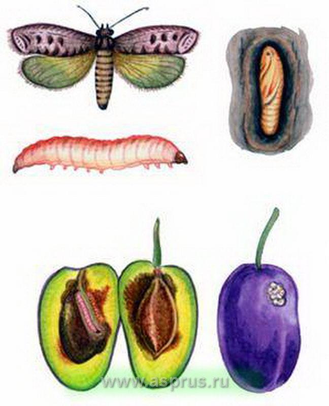 Сливовая плодожорка