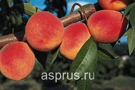 персик, сортимент персика, купить, саженцы, Харроу Даймонд