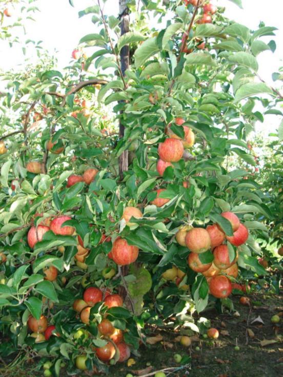 Яблоневый сад  ACH. RIJCKAERT
