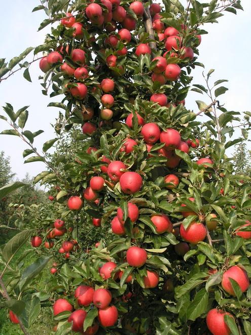 Демонстрация урожая яблоневого сада ACH. RIJCKAERT