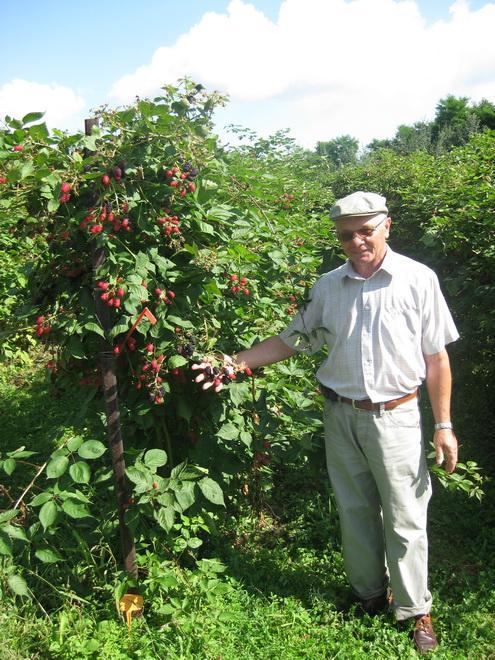 Доктор ЯН ДАНЕК (Польша, Исследовательский Институт Садоводства и цветоводства, г.Brzezna) демонстрирует маточник малины-ежевики