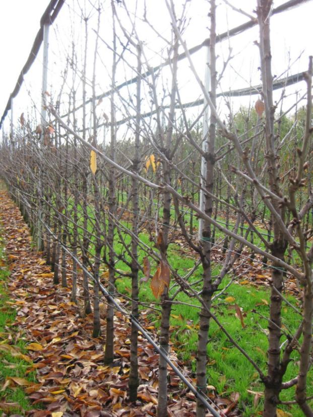Осенний шпалерно-карликовыЙ сад с противоградной конструкцией