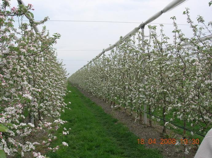 Весенний шпалерно-карликовыЙ сад с противоградной конструкцией