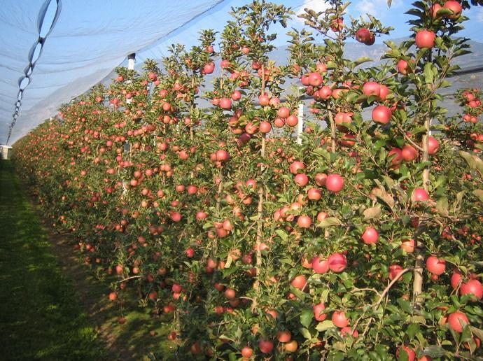 Сады яблони с противоградной конструкцией