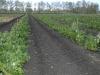 Фото 3. Плантация малины в год посадки в ООО Снежеток Тамбовской области