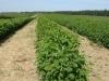 Фото 4. 3-х летняя плантация малины сорта Полька (СадПол, Польша)