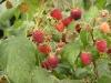 Фото 5. Сорт малины Поляна