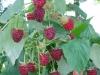 Фото 6. Сорт малины Полька
