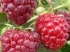 Фото 7. Ягоды малины сорта Полька