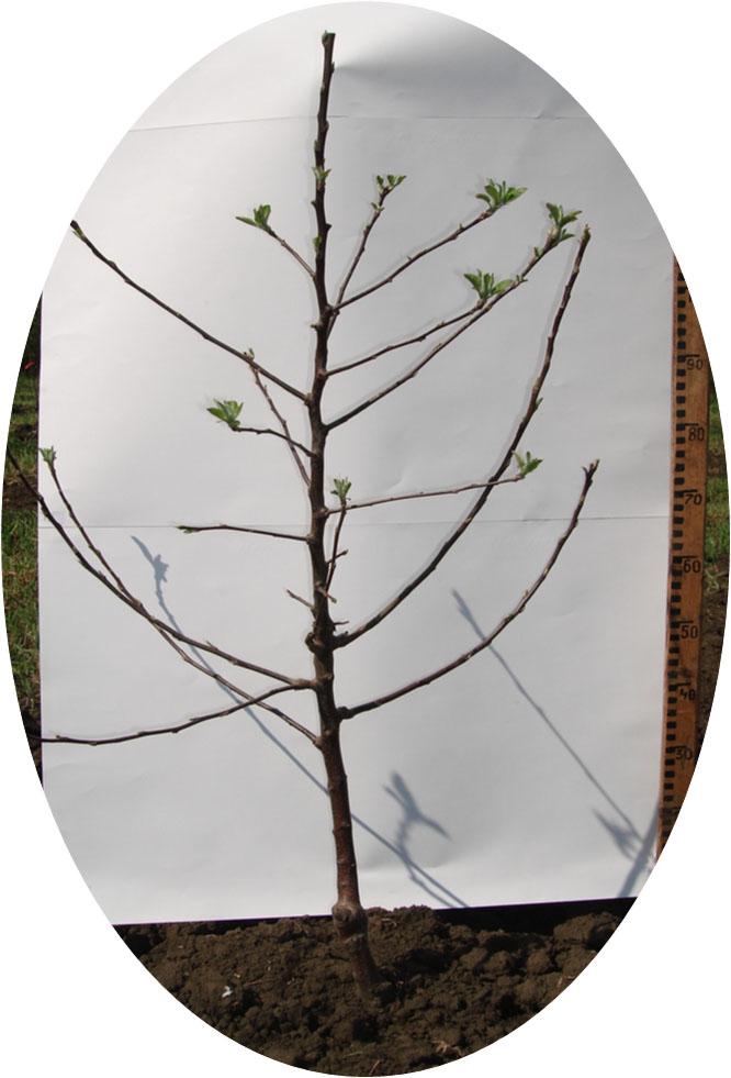 Посадочный материал яблони с заданными параметрами