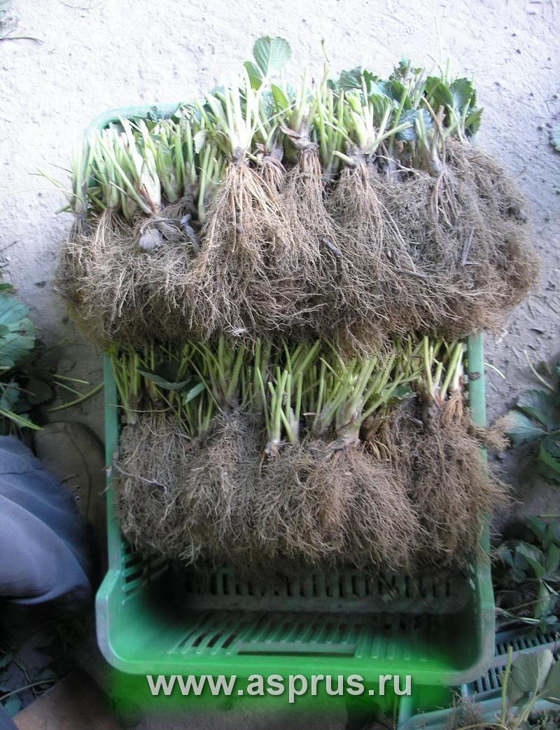 Выращивание рассады клубники фриго 4