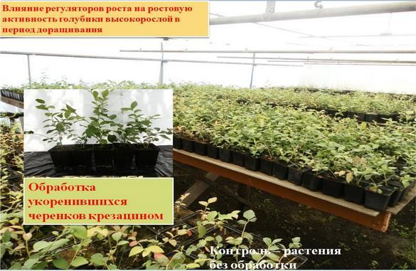 Влияние регуляторов роста на ростовую активность голубики высокорослой в период доращивания