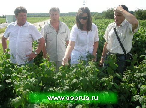 Ферма по выращиванию малины 31