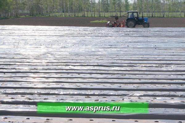 Большие площади позволяют уже в первый год после посадки получать товарное плодоношение более 3 тонн с гектара