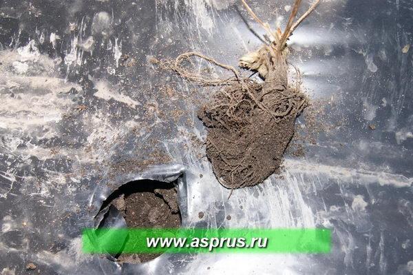 При загибе корней растение ждёт неминуемая гибель, а хозяйство прямые убытки