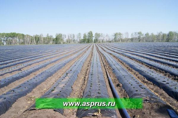 В основном капельный полив на плантациях земляники проводят во временном режиме с помощью