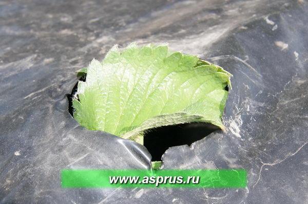 Если оправку не сделать своевременно, то в солнечный день нагретая чёрная плёнка обожжёт молодые растения