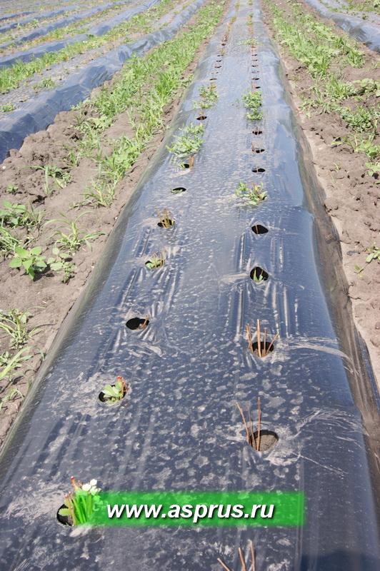 Выпады рассады в результате использования свежевыкопанной рассады